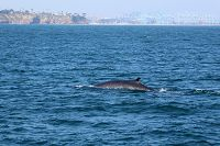 Fin whale with Point Fermin and the LA port in the background - thumbnail