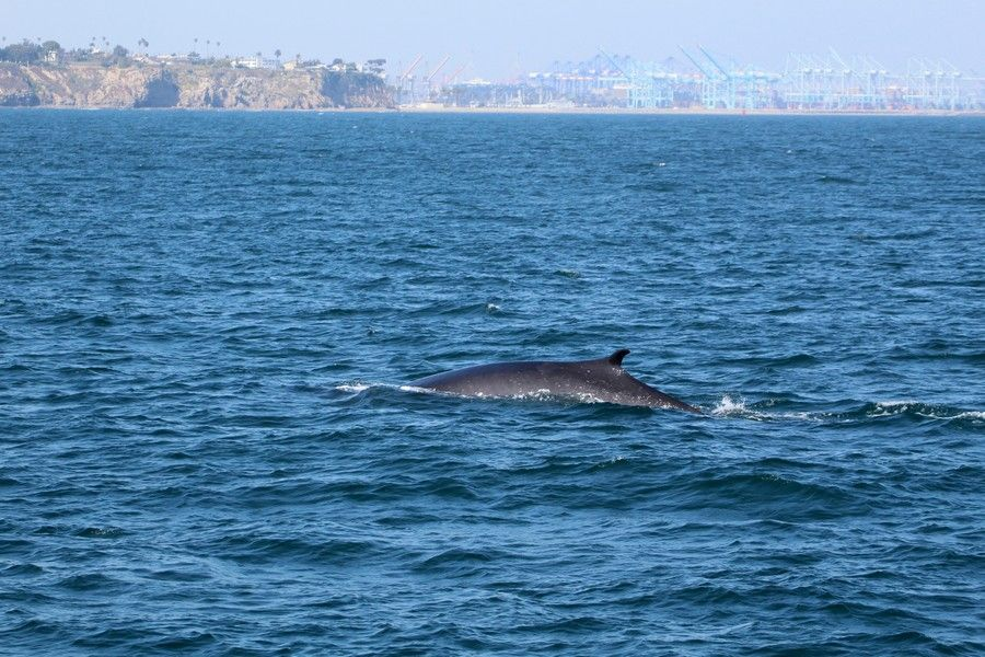 Fin whale with Point Fermin and the LA port in the background - lightbox