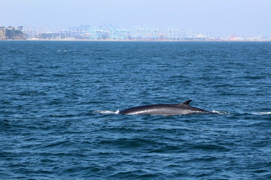 Another fin whale off of Point Fermin - lightbox