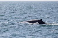 Fin whale with an atypical dorsal fin shape - thumbnail