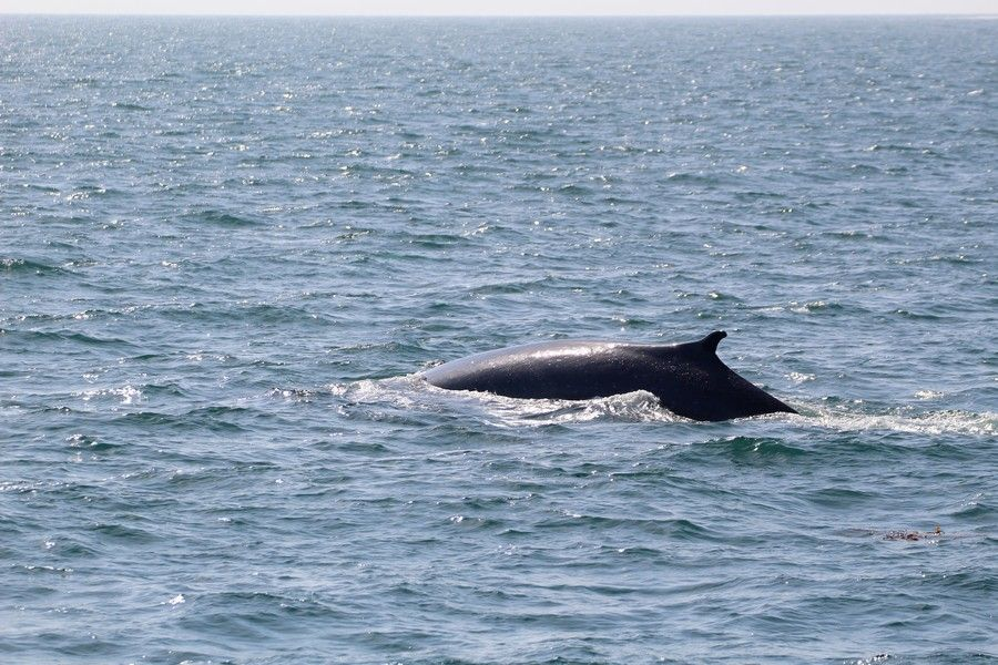 Fin whale with an atypical dorsal fin shape - lightbox