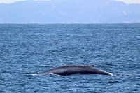 Blue whale with Catalina island in the background - thumbnail