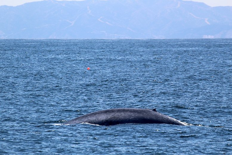Blue whale with Catalina island in the background - slideshow