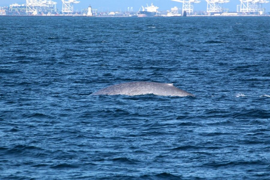 Blue whale with the Los Angeles and Long Beach ports in the background - lightbox