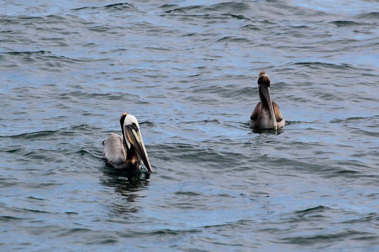 Brown pelicans sitting in the water, the left one with distinct adult plumage - slideshow