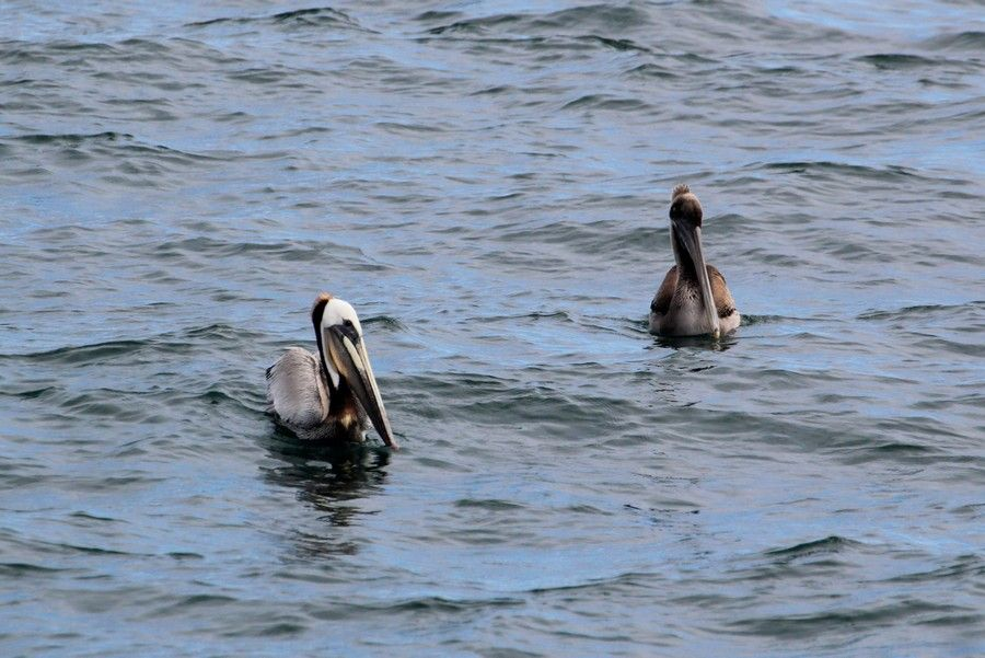 Brown pelicans sitting in the water, the left one with distinct adult plumage - lightbox