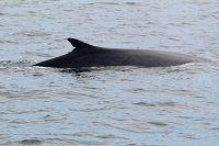 Fin whale with a scar in its dorsal fin - thumbnail