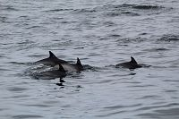 Common dolphin pod slowly traveling through the water - thumbnail