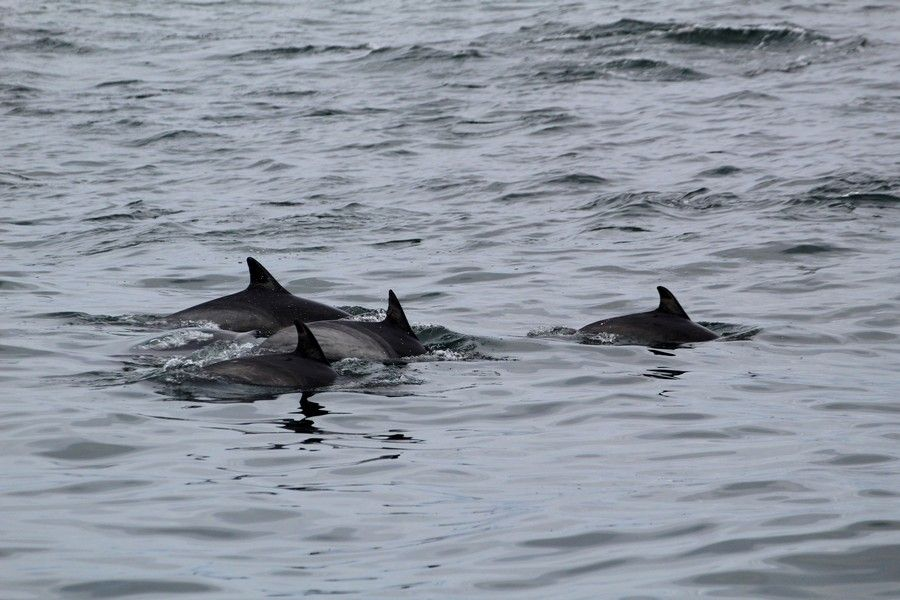 Common dolphin pod slowly traveling through the water - lightbox