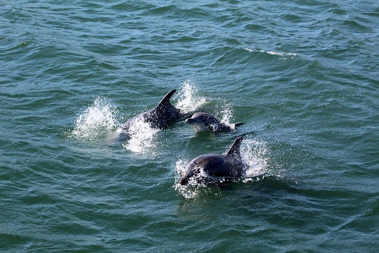 Bottlenose dolphins at the surface - slideshow