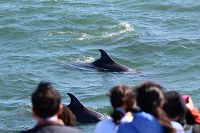 Bottlenose dolphins swimming by the front of the boat as it is stopped to observe them - thumbnail