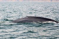 Blue whale with distinct white mark under its dorsal fin - thumbnail