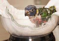 Raising Lorikeet Chicks at the Aquarium