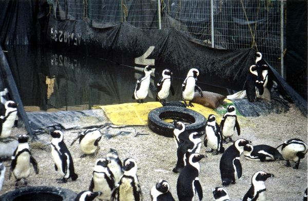 SAVING AFRICAN PENGUINS