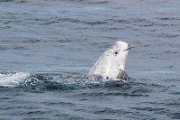 Risso's dolphin spyhopping - thumbnail