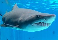 Big Guy - The Laid Back Sand Tiger Shark