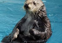 SEA OTTER SPEED SWIM