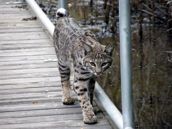 A CLOSE ENCOUNTER WITH BOBCATS