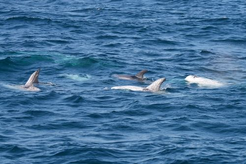 When Bottlenose and Risso's Dolphins Mix!