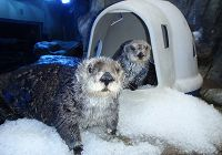 Vintage Sea Otters-Brook and Charlie in 1998