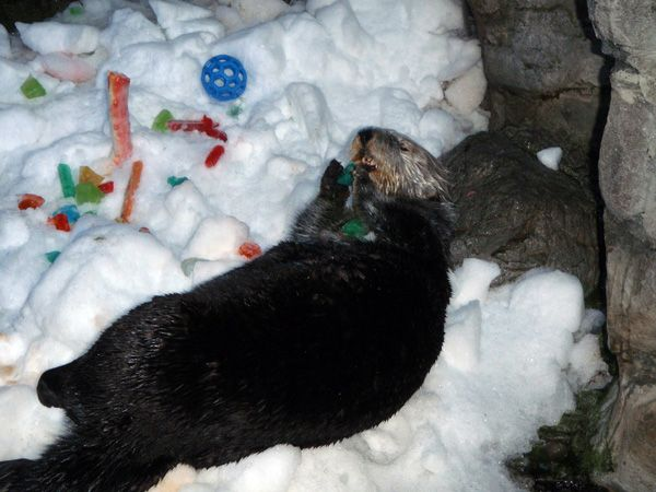 HOLIDAY TREATS FOR THE OTTERS