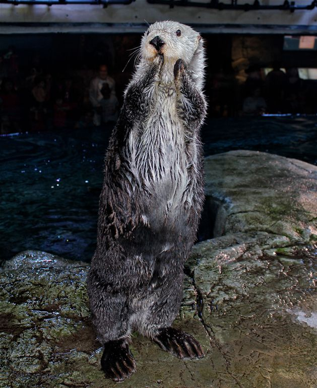 The Force is Strong with this Otter