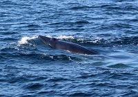 Bryde's Whale Spotted In SoCal