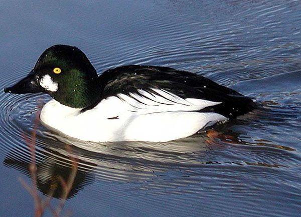 American Goldeneyes Land at the Aquarium of the Pacific.