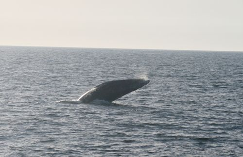 Gray Whales, Blue Whales, and Even Sperm Whales!