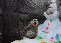 An Otter Tradition-Destroying the Holiday Treats Snowman