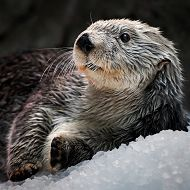 Charlie_robinshot770.JPG links to License to Dive: Sea Otter Celebrates 21st Birthday