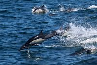 Common_dolphin_AOP20190829-4756.jpg - thumbnail