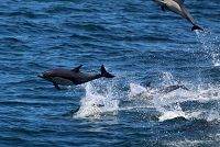 Common_dolphin_AOP20190829-4759.jpg - thumbnail