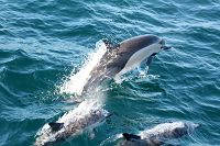 Common_dolphin_AOP20190903-4945.jpg - thumbnail