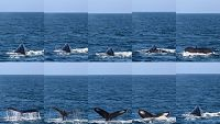 Humpback whale dive sequence collage - thumbnail