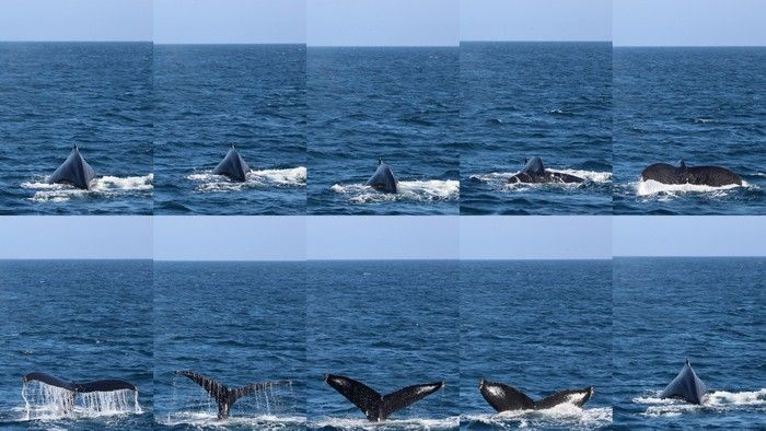 Humpback whale dive sequence collage - lightbox