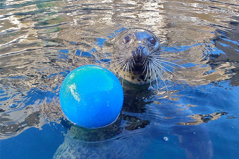 The Seal With Abilities Beyond Her Disabilities Still Having Fun