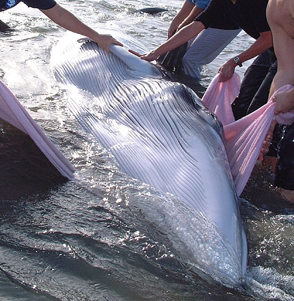 In the Surf Trying to Save a Baby Fin Whale