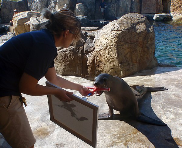 Harpo the sea lion painting on a canvas