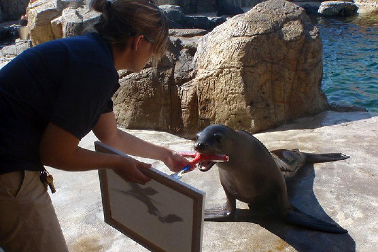 Harpo the sea lion painting on a canvas - slideshow
