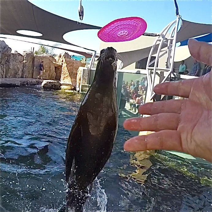 Frisbee Catching Sea Lions