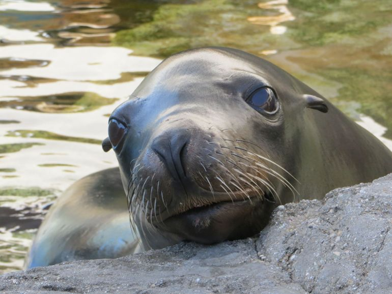 Harpo: the Charismatic Raspberry-blowing Sea Lion