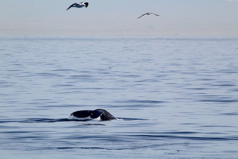 Gray whale fluke - slideshow