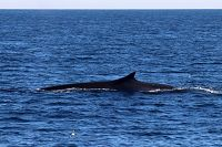 Fin whale with distinct notch in the dorsal fin - thumbnail