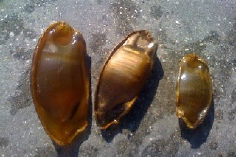 Three shark eggs - slideshow
