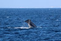 Blue whale fluke and tailstock raised high above the water - thumbnail
