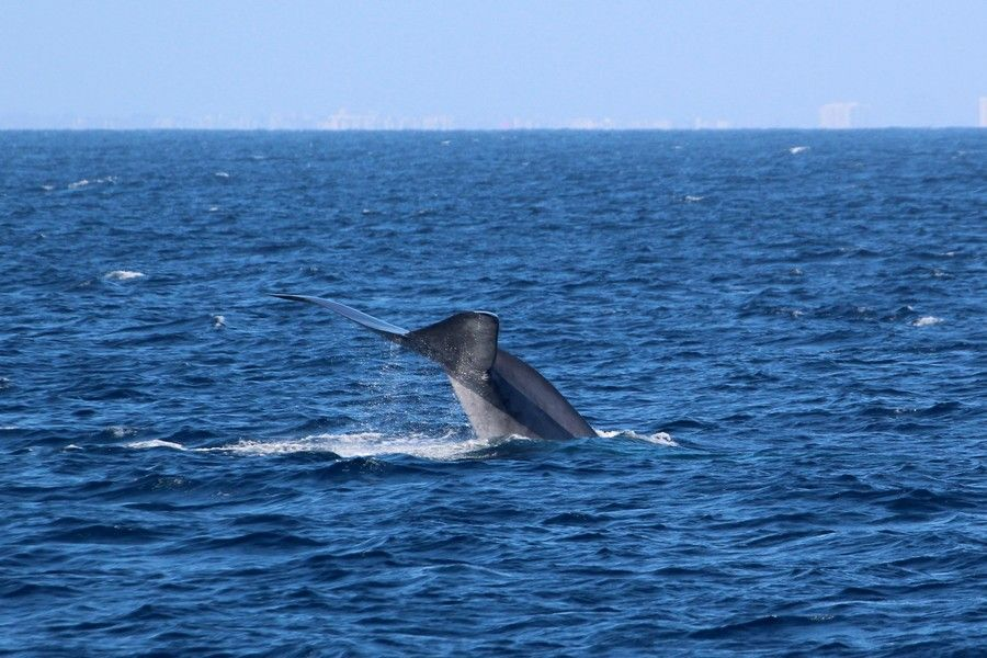 Blue whale fluke and tailstock raised high above the water - lightbox