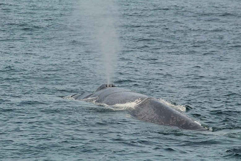 Blue whale blowing as it swims away from our location - slideshow