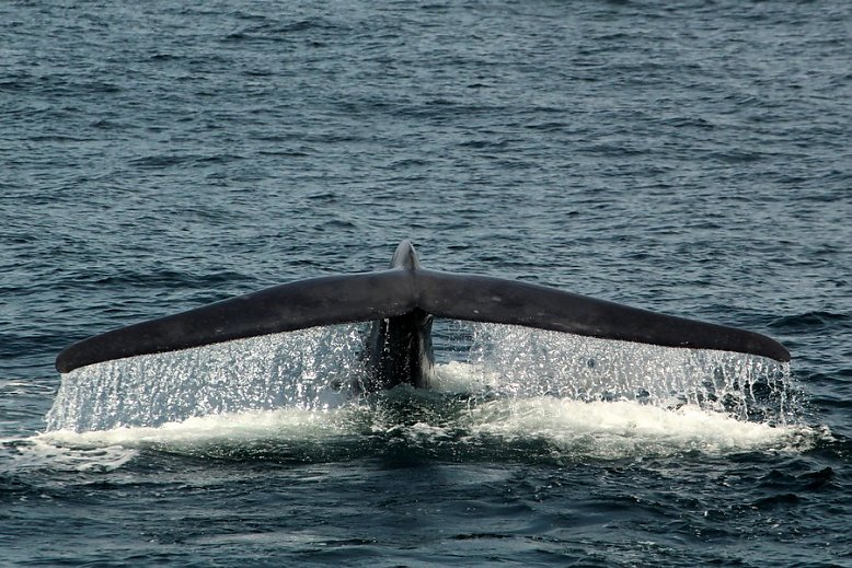 Blue whale fluke with water cascading off the back - slideshow