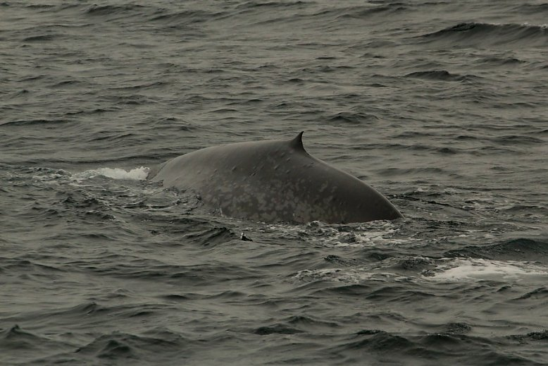 Blue whale dorsal at surface - slideshow